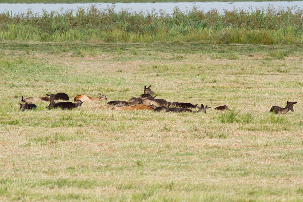 Small group of fallow deer resting in grassland at Pulborough Brooks RSPB Nature Reserve, West Sussex
