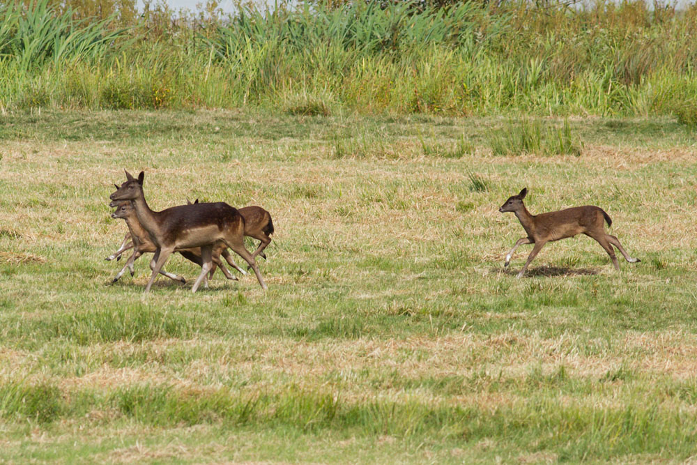 Herd of fallow deer at Pulborough Brooks Nature Reserve, West Sussex