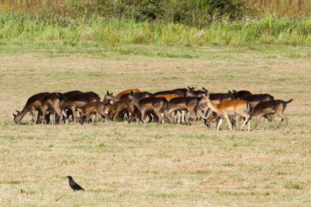 Small group of fallow deer grazing in grassland at Pulborough Brooks RSPB Nature Reserve, West Sussex