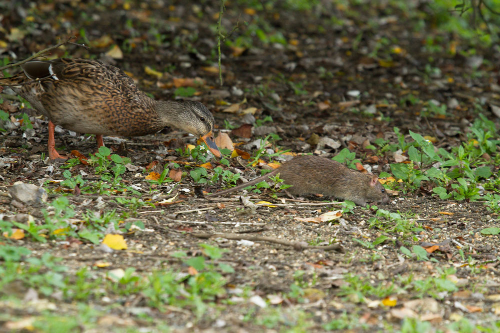 Brown rat (Rattus norvegicus) with brown female mallard duck foraging in a woodland fringe at Falmer Pond, East Sussex