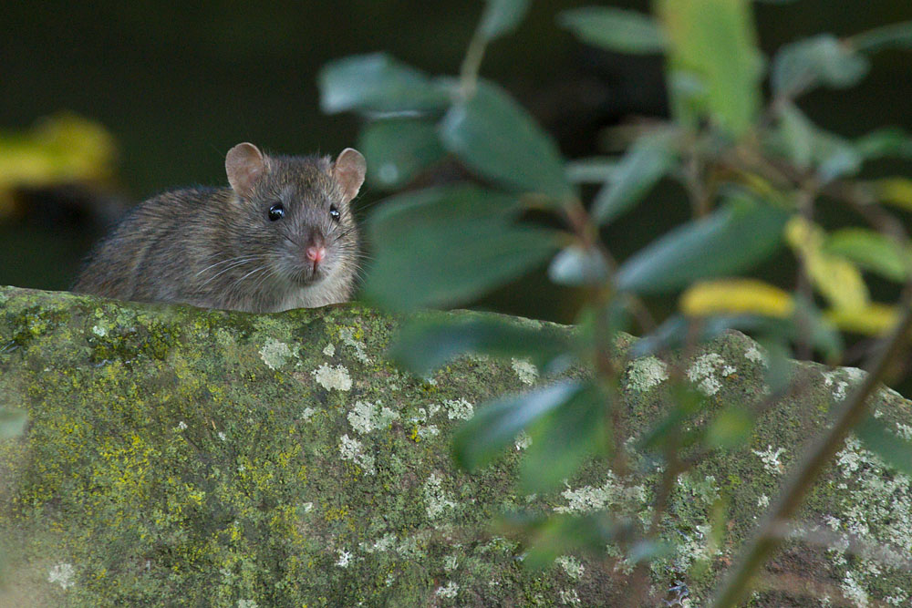 Rat among the tree roots at the edge of Falmer Pond, East Sussex