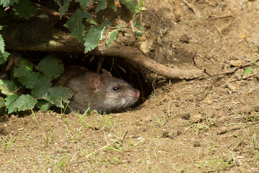 Adult brown rat (Rattus norvegicus) along the exposed banks of Falmer Pond in East Sussex