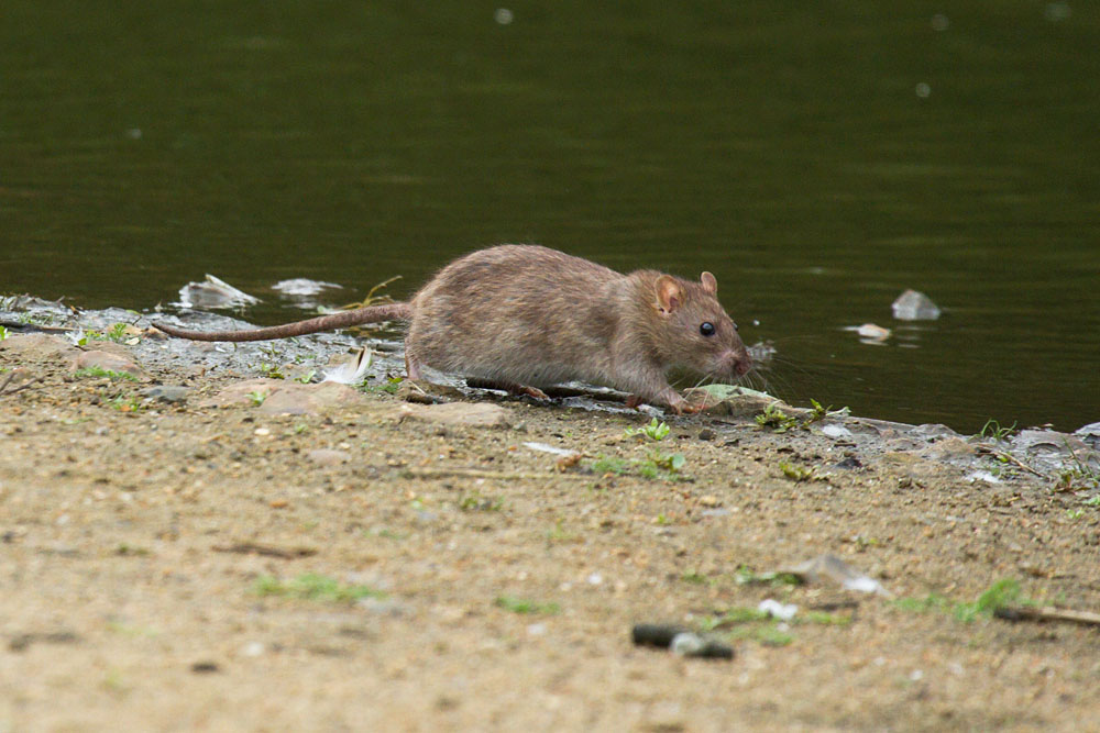 Rats (Rattus norvegicus) feeding and playing at the edge of Falmer Pond, East Sussex