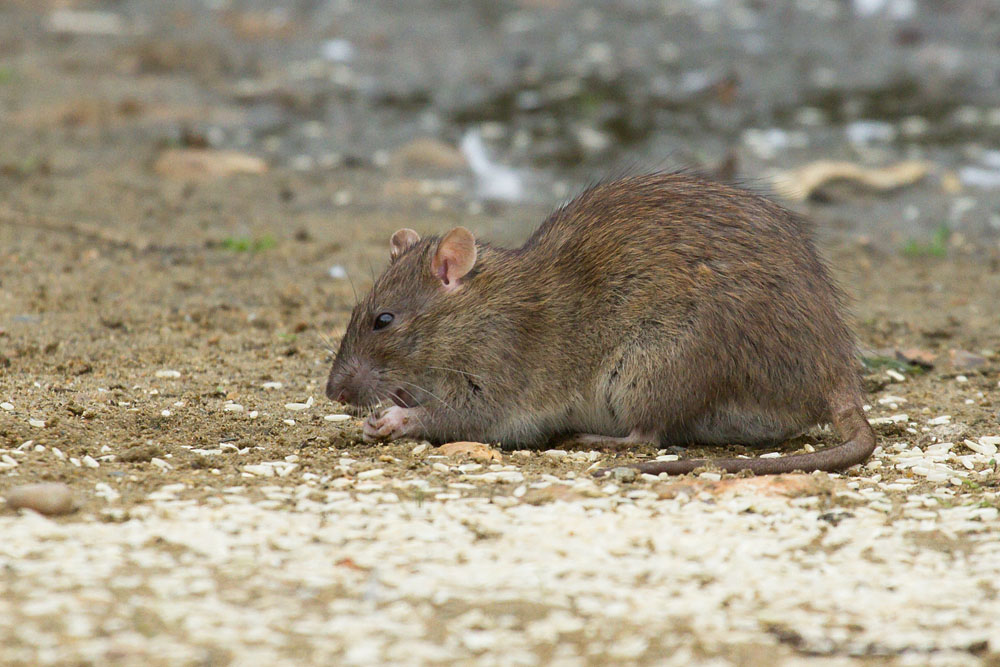 Adult brown rat (Rattus norvegicus) feeding along the exposed banks of Falmer Pond in East Sussex