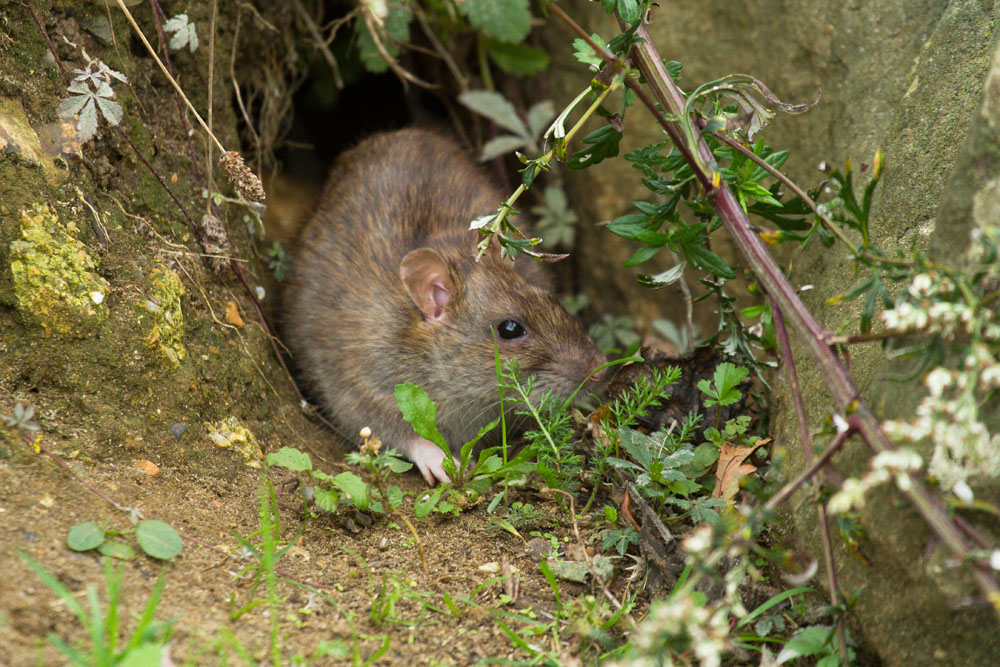 Adult brown rat (Rattus norvegicus) emerging from a burrow along the exposed banks of Falmer Pond in East Sussex