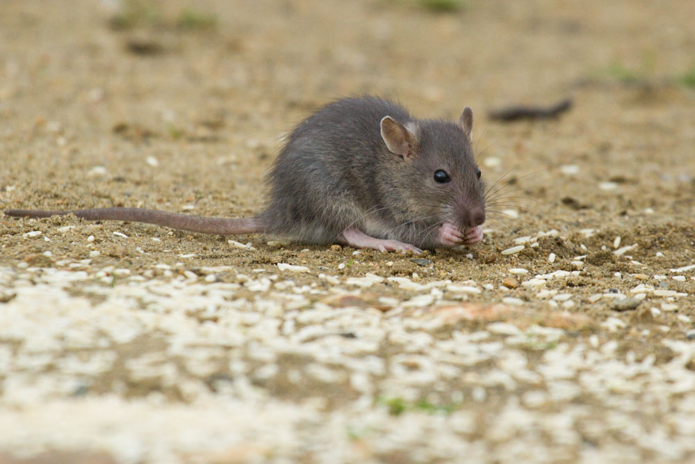 Very young baby rat (Rattus norvegicus) feeding on rice grains at the edge of Falmer Pond, East Sussex