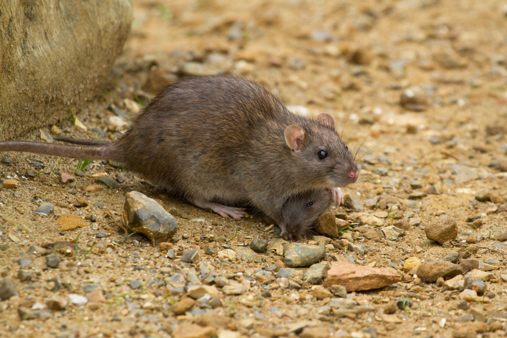Adult mother rat  (Rattus norvegicus) with young rat peeking out from underneath her playing on the exposed bank at the edge of Falmer Pond, East Sussex
