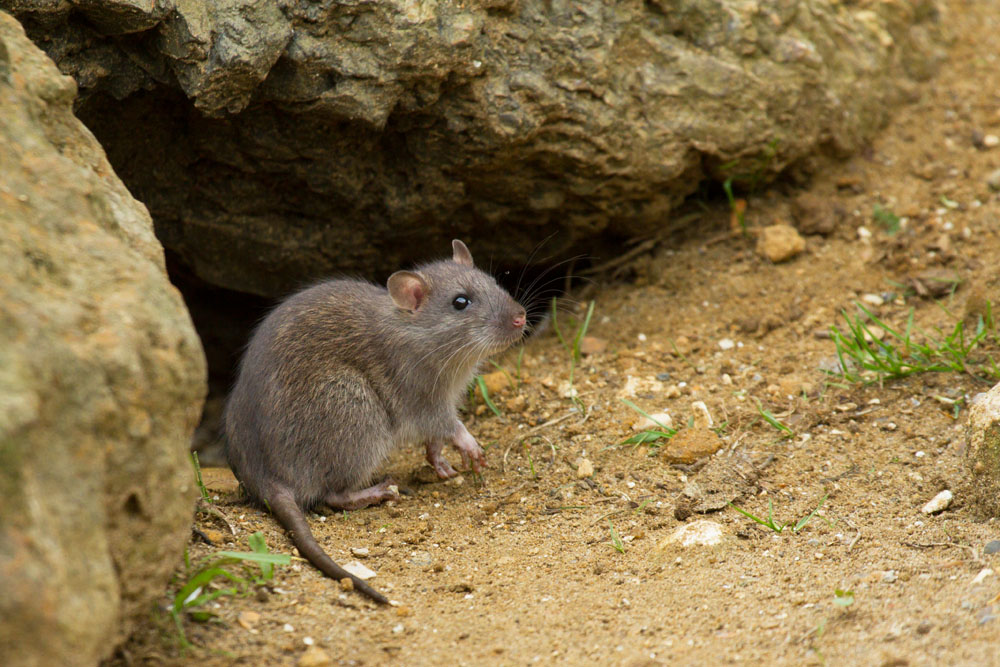 Young brown rat (Rattus norvegicus) sitting by a gap in the rocks at the edge of Falmer Pond, East Sussex