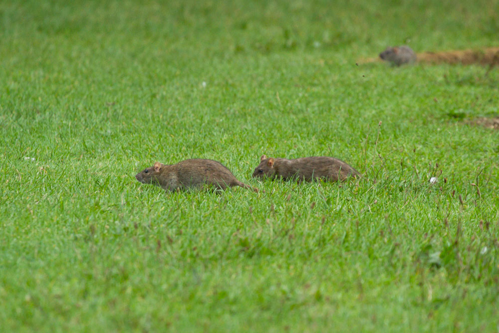 Rats (Rattus norvegicus) foragign on the grass bank at the edge of Falmer Pond, East Sussex