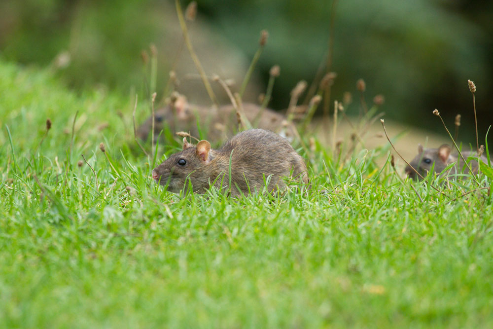 Brown rats (Rattus norvegicus) foraging on the grass bank at the edge of Falmer Pond, East Sussex