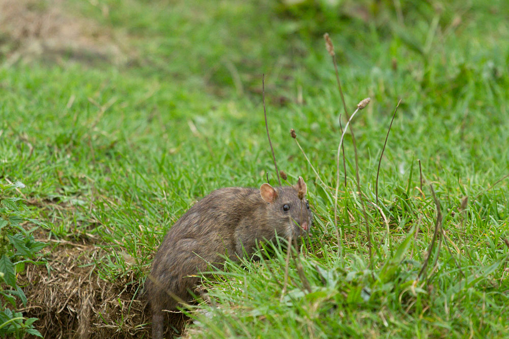 Adult brown rat (Rattus norvegicus) climbing up the exposed banks of Falmer Pond in East Sussex
