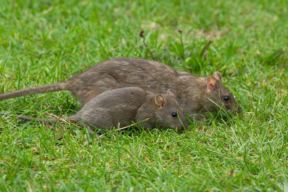 Adult and juvenile brown rat (Rattus norvegicus) foraging on the grass bank at the edge of Falmer Pond, East Sussex