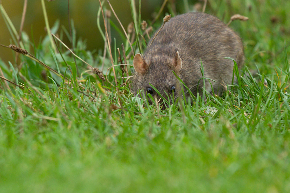 Adult brown rat (Rattus norvegicus) foraging on the grass bank at the edge of Falmer Pond, East Sussex