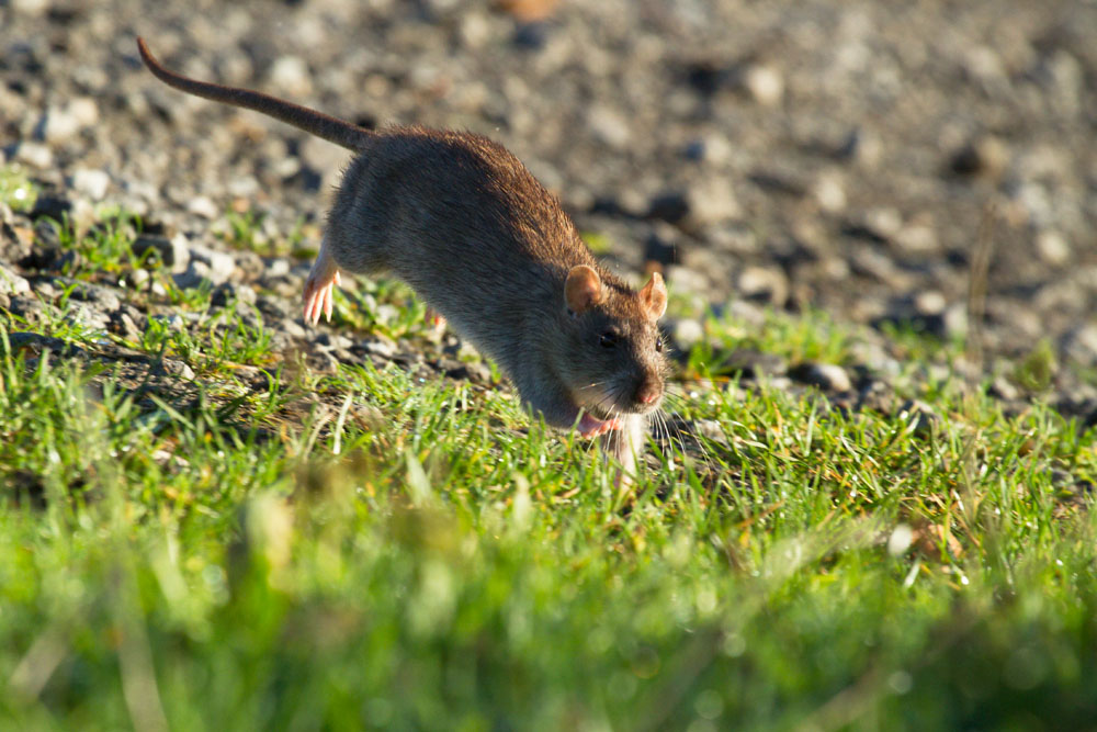 Adult brown rat (Rattus norvegicus) running through grassy undergrowth