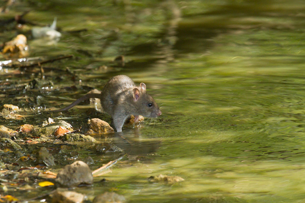 Juvenile brown rat (Rattus norvegicus) foraging in shallow water at the edge of Falmer Pond, East Sussex
