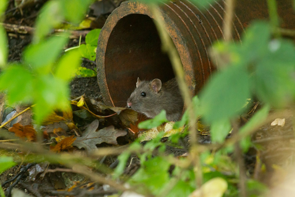 Brown rat (Rattus norvegicus) at the entrance to a drainage pipe