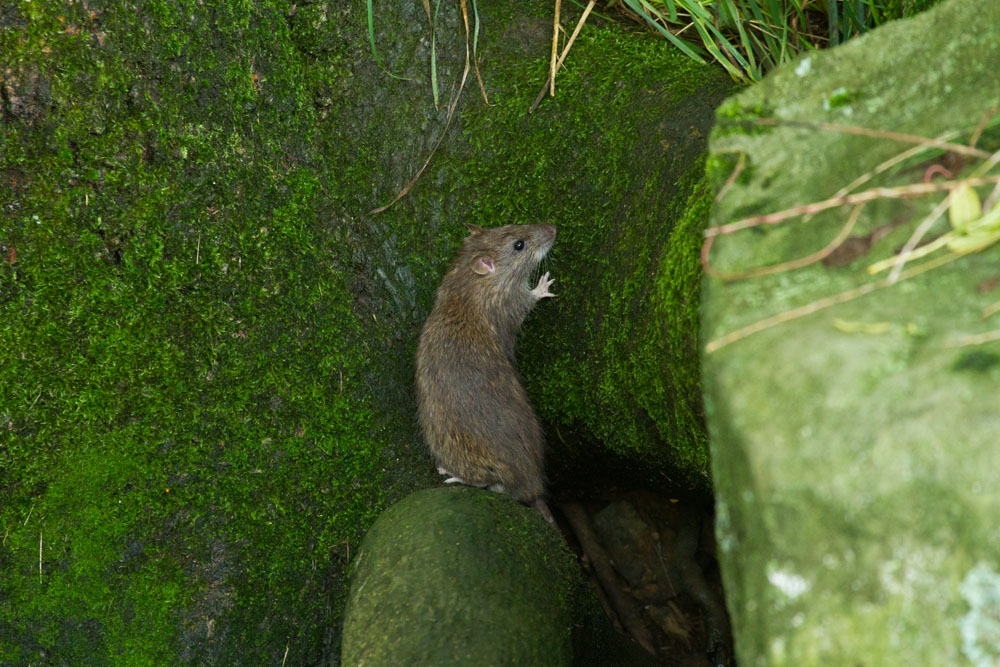 Brown rat (Rattus norvegicus) standing on hind legs on a tree root against a green lichen covered tree trunk.