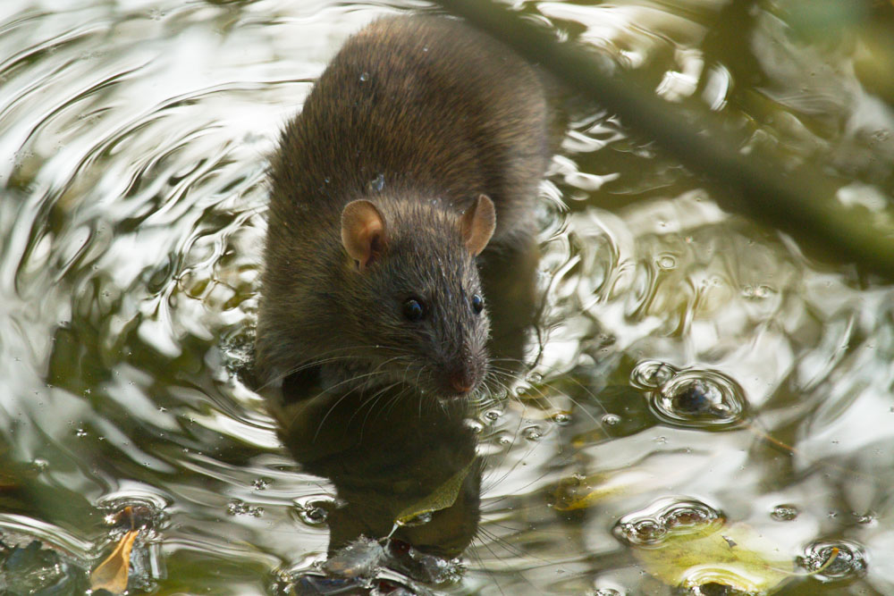 Brown rat in small pool of water