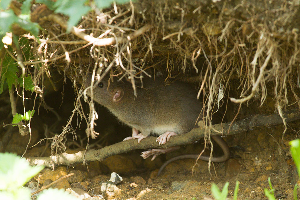 Young brown rats scrabbling for food and climbing over tree roots