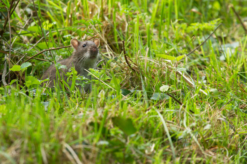 Brown rat (Rattus norvegicus) foraging in the grass fringe of Falmer Pond, East Sussex.