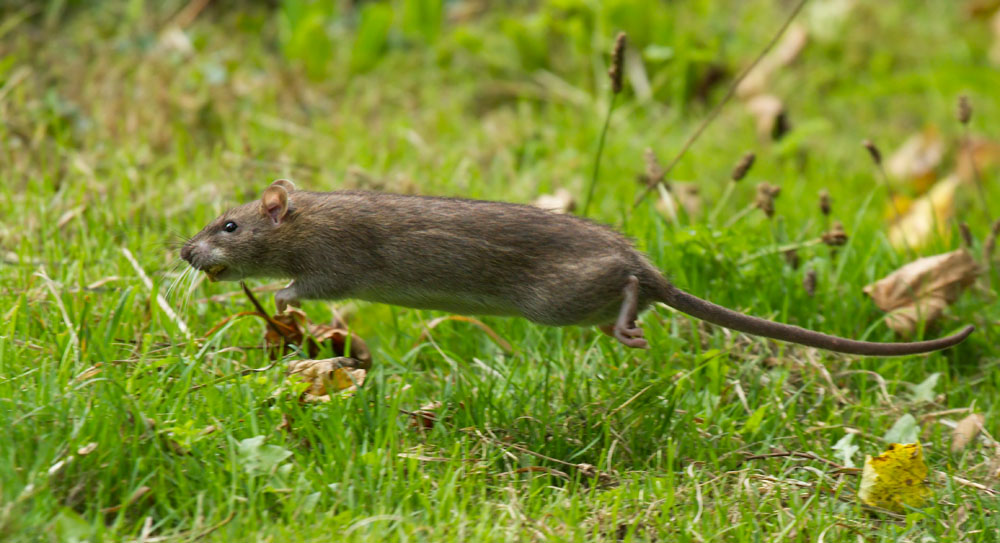 Brown rat (Rattus norvegicus) leaping in mid-air through the grass fringe of Falmer Pond, East Sussex.