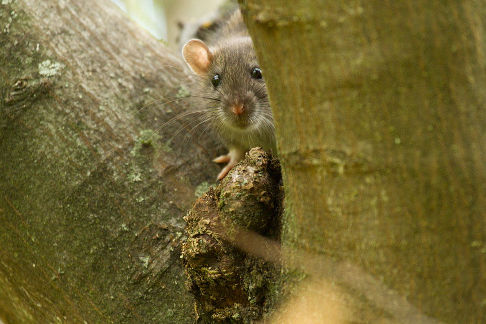 Brown rat (Rattus norvegicus) perched in the bough of a tree in woodland adjacent to Falmer Pond East Sussex