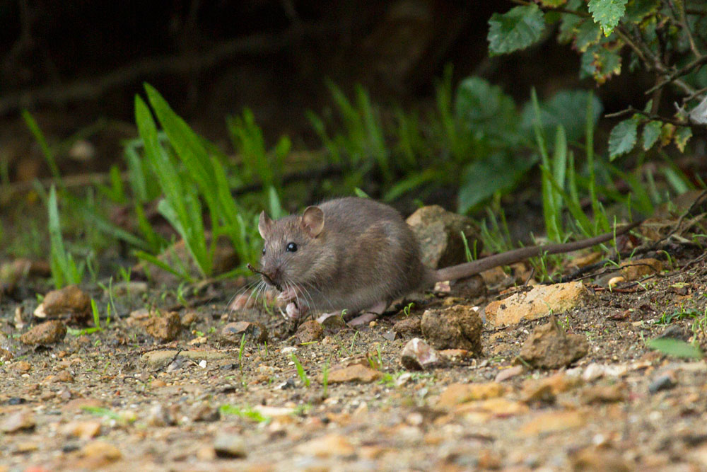 Young brown rat (Rattus norvegicus) playing with a twig on the exposed banks of Falmer Pond in East Sussex