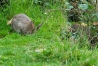 Rat and rabbit on grass bank of Falmer Pond, East Sussex