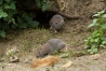 Young brown rats (Rattus norvegicus) running along the exposed banks of Falmer Pond in East Sussex