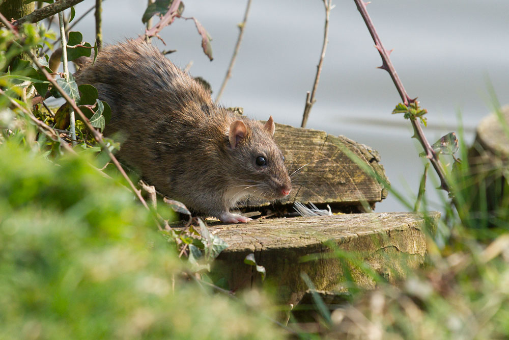 Brown rat scurrying around the fringes of Falmer Pond, East Sussex