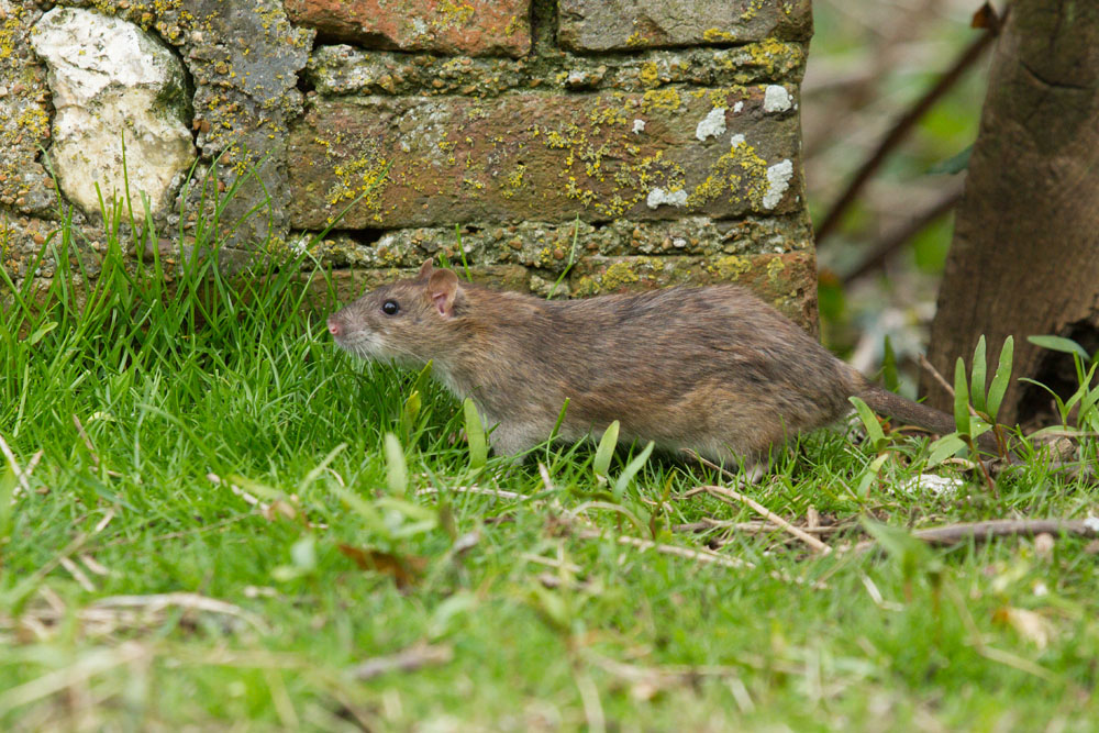 Brown rat at the edge of woodland, Falmer, East Sussex