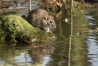 Brown rat scurrying and swiming along the fringes of a swollen pond, Falmer, East Sussex