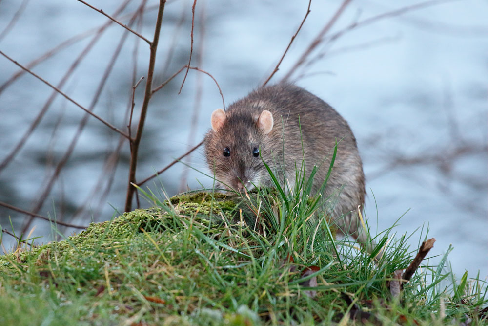 Brown rat on grass bank at Falmer Pond, East Sussex