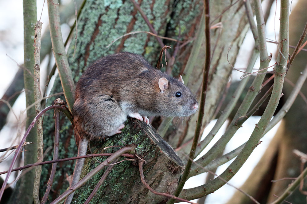 Brown rat on tree stump at Falmer Pond, East Sussex