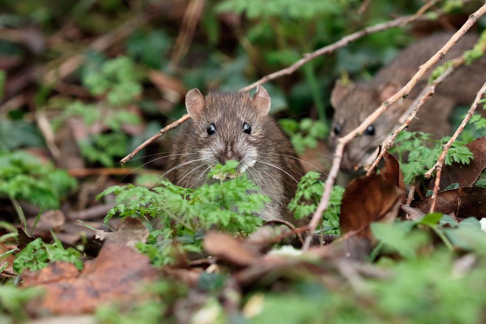 Brown rats at Falmer Pond