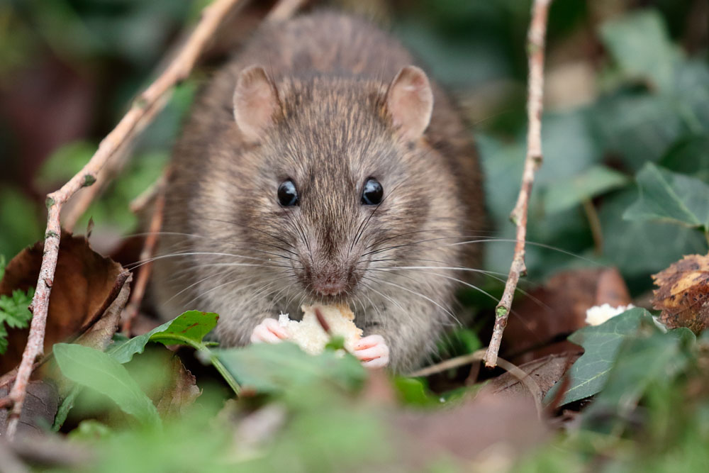 Brown rat eating bread at Falmer Pond, East Sussex