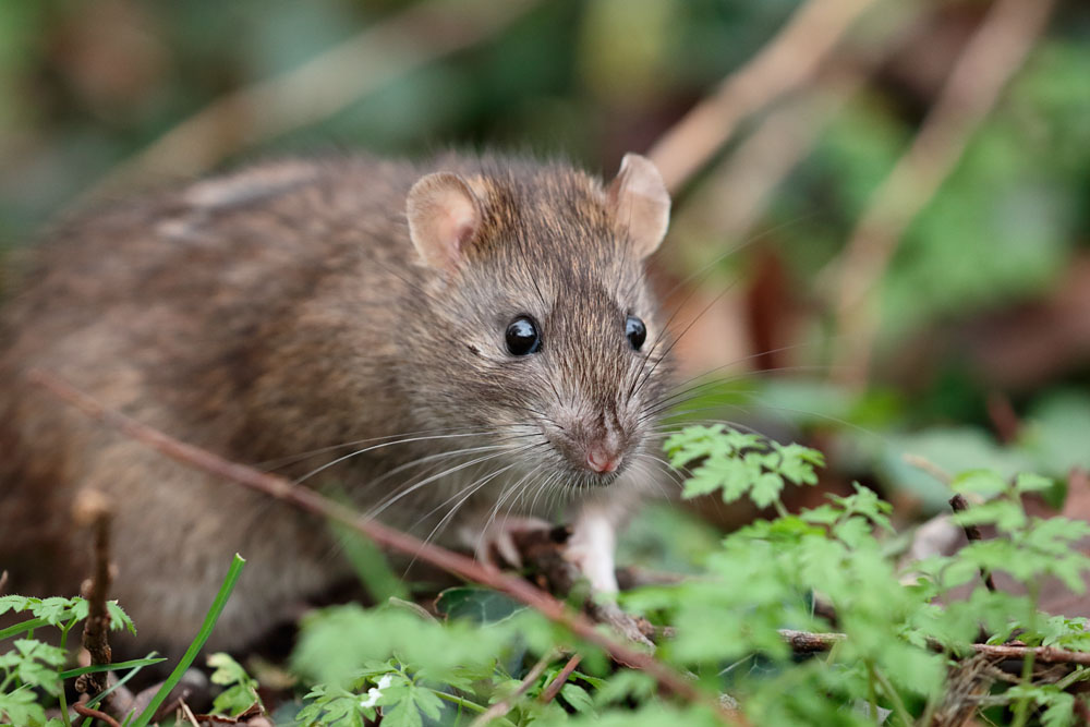 Brown rat at Falmer Pond