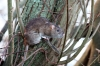 Brown rat on tree stump at Falmer Pond, East Sussex