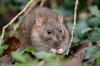 Brown rat at Falmer Pond with long nails.
