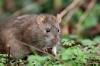 Brown rat at Falmer Pond