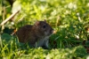 Brown rat at Falmer Pond, East Sussex