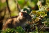Brown rat at Falmer Pond, East Sussex