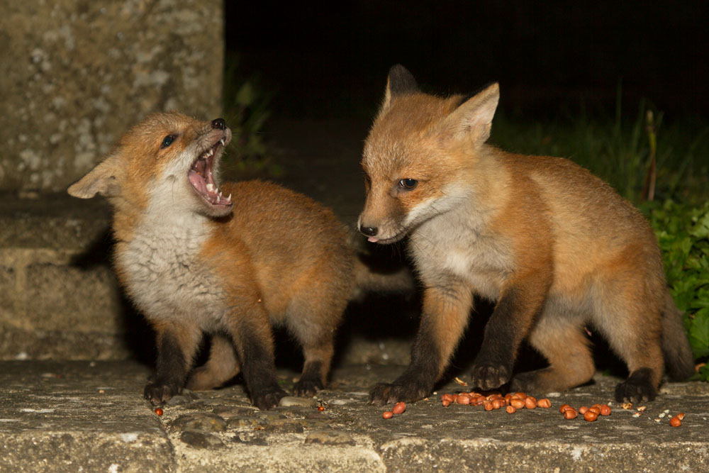 Two young fox cubs fighting over food.