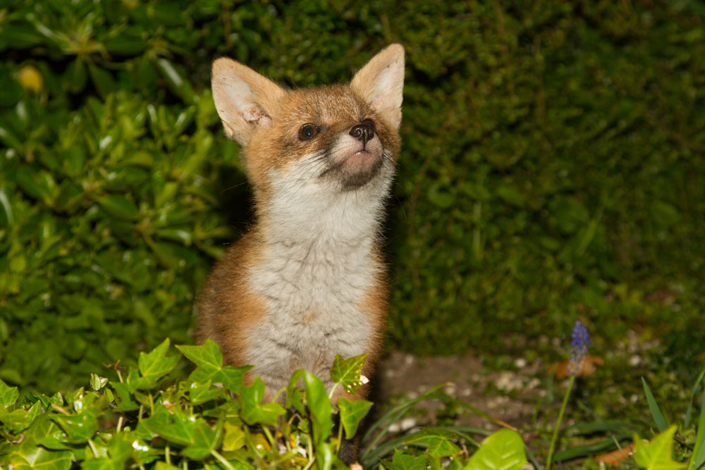 Portrait of a young fox cub (less than 3 months) looking up against green hedge background