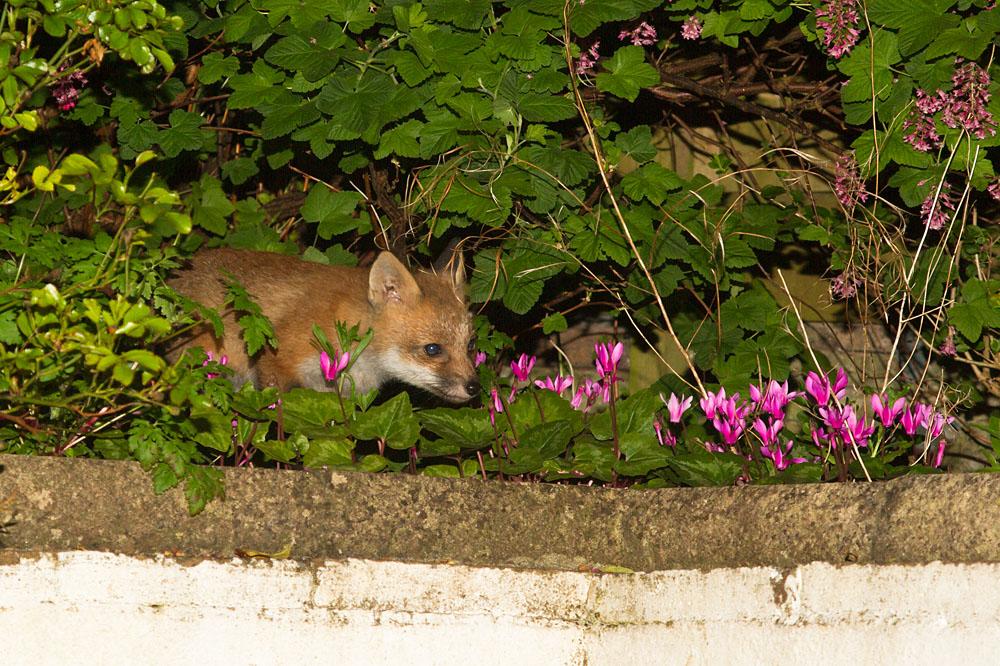 Young fox cub emerging through garden shrubs