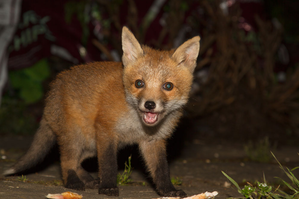 Fox cub standing in front of food scraps in suburban garden, showing typical blue eyes, with mouth partially open.