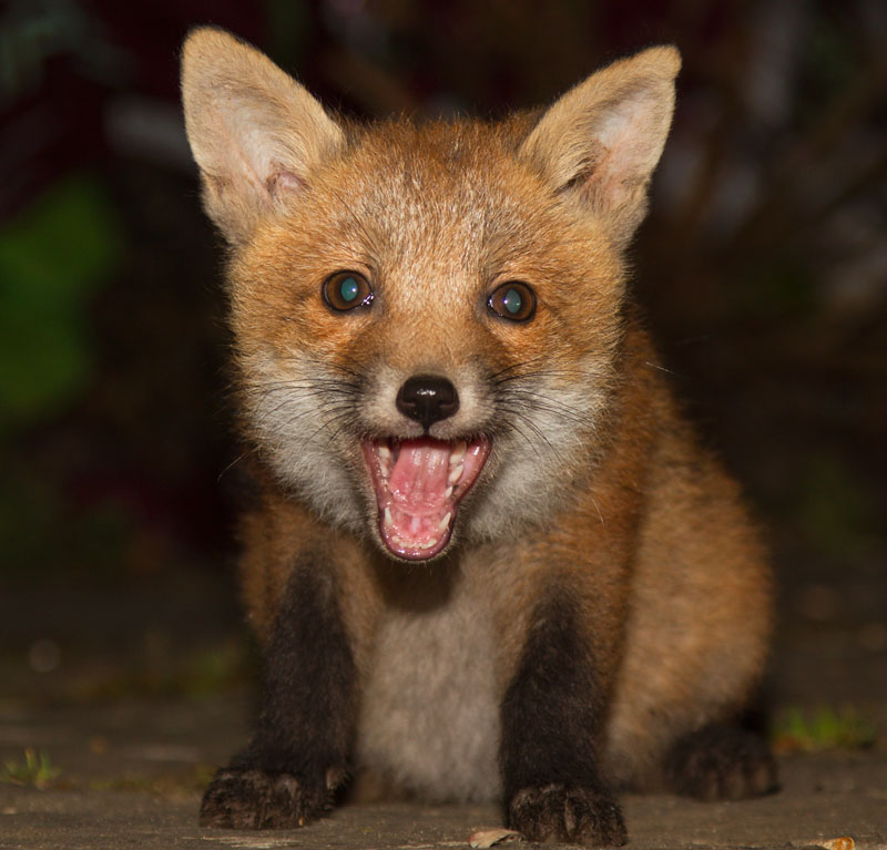 Fox cub sitting in suburban garden smiling with mouth open.