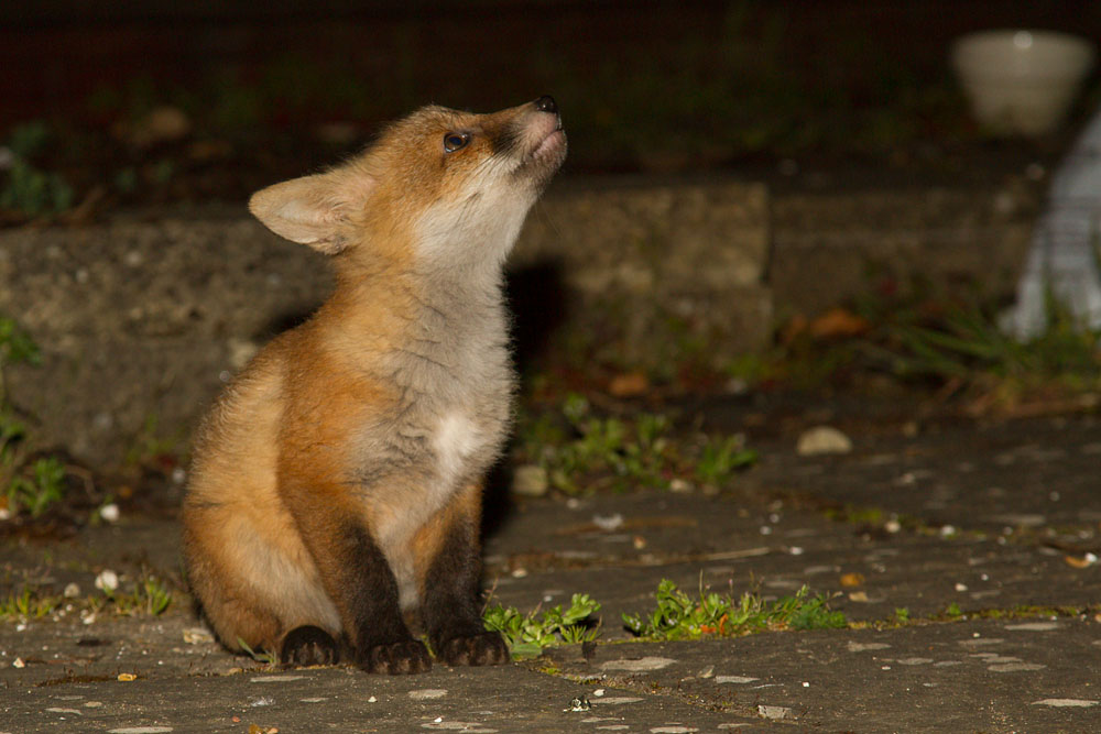 10 week old fox cub  (Vulpes vulpes) in a suburban garden.