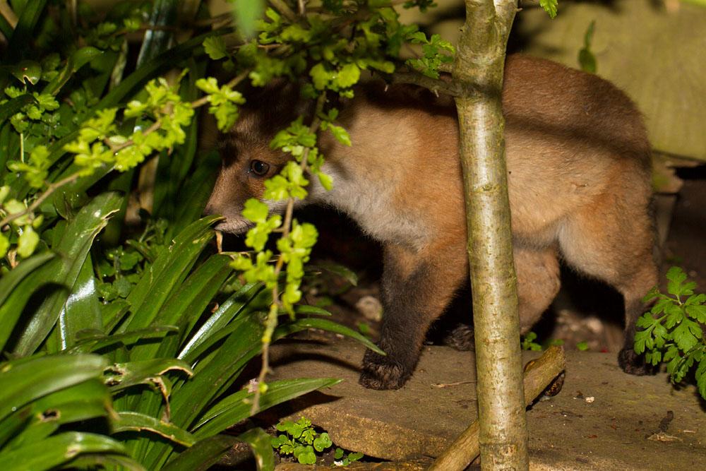 Young fox cub (Vulpes vulpes) in garden undergrowth.