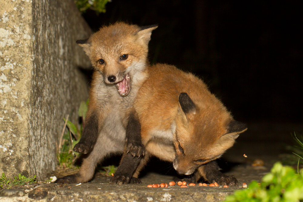 Two young fox cubs fighting over food in a suburban garden.